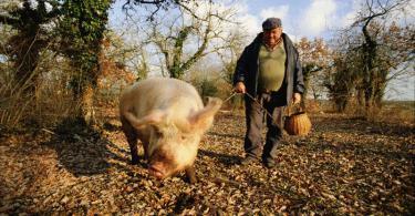 трюфель свинья грибы