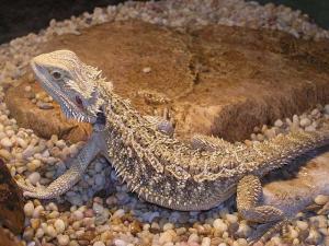 агама бородатая, смоленский зоопарк