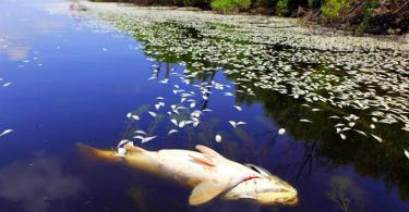 в смоленских реках гибнет рыба