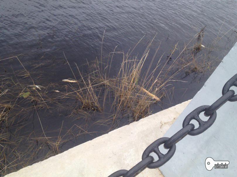 мор рыбы, мертвая рыба, Смоленск, Днепр