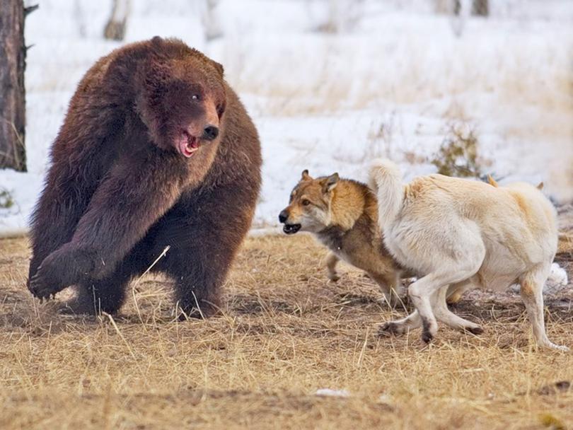 медведь собаки охота лайки