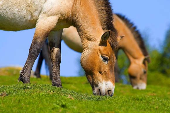 лошадь Пржевальского, Смоленское поозерье