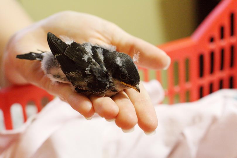 ласточки птенцы священник из Лосни